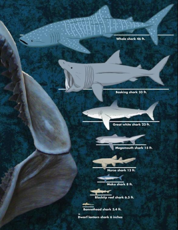 Relative Shark Sizes