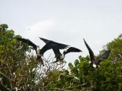 Frigite Birds