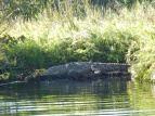Crocodile on the banks of Rio Tovara