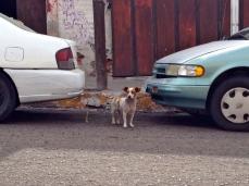 Street dog in La Paz, Mexico