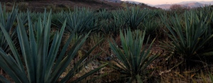 Agave field