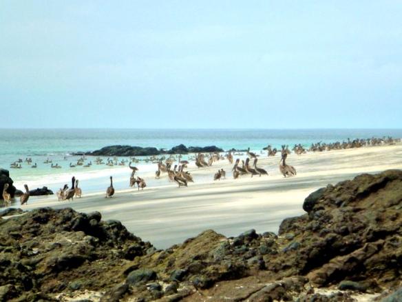 Pelicans at San Telmo