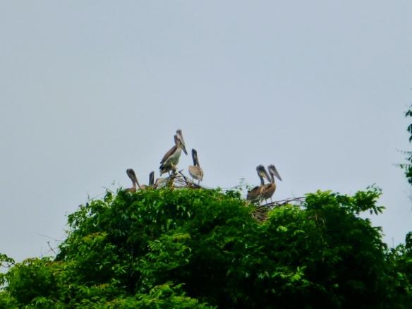 Pelican nesting sanctuary