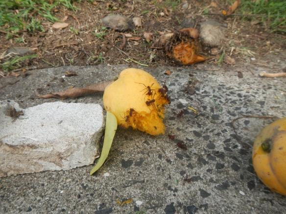 Giant ants love mangos