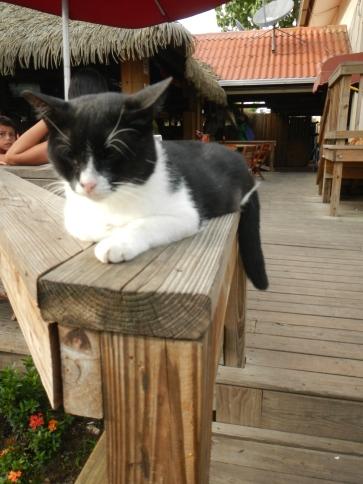 Head cat at Balboa Yacht Club, Panama City, Panama