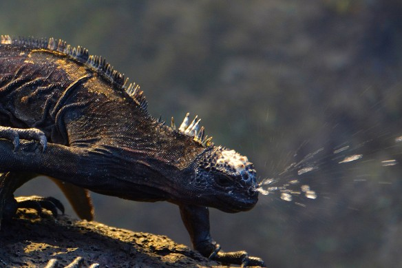 Marine iguana shoot water from their nose