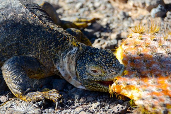 Land Iguana enjoying a cactus snack
