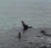 Sea lion call