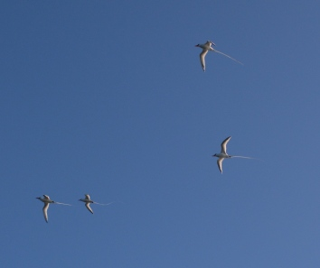 Red-Billed tropicbirds with their lovely long tails