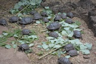 Baby tortoises at Darwin center