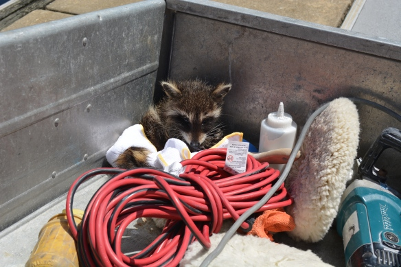 Raccoon rescue, off to the wild life sanctuary.