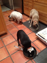 Lucy shows her dog relatives how to be a Belizian pot licker
