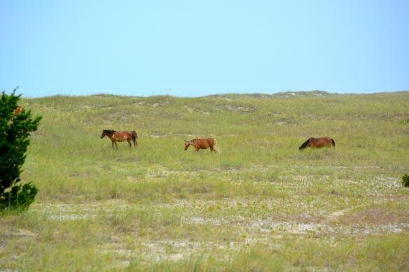 wild ponies sauntering across the dunes
