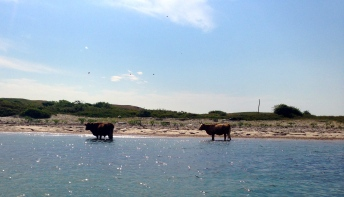 Even cows enjoying a summer dip.