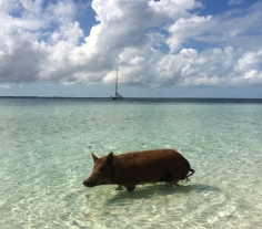 What? You act like you've never seen a pig swim.