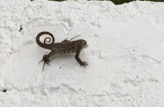 Curly tail lizards are all over the Bahamas