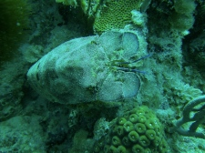 Terrifc shallow dive in Culebra - Slipper lobster