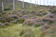 Fields of heather everywhere