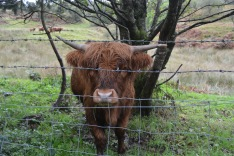 Scottish Highland Cow knows how to wear bangs.