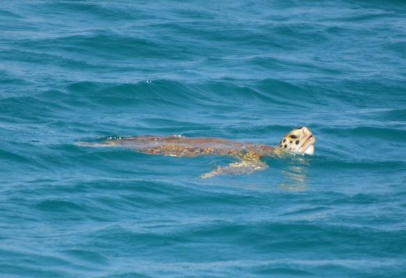 Culebrita Turtle